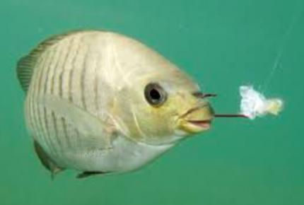 Especies marinas llevan 40 años alimentándose con plástico