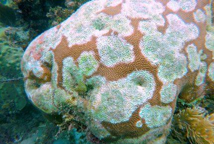 Mueren 20 de 45 especies de coral en costa de Quintana Roo