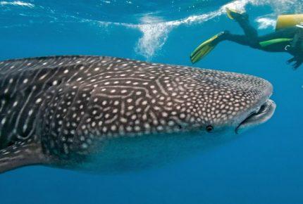 Incertidumbre respecto a permisos para avistamiento de Tiburón Ballena en Isla Mujeres